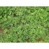 出售花生秧草粉