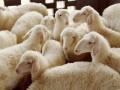 肉羊知名品种湖羊介绍