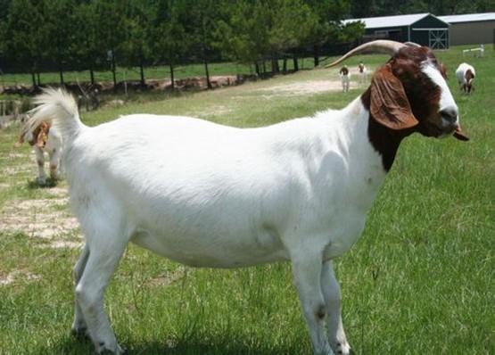 羊一天可以长多少斤?
