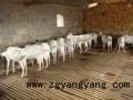 南方养殖奶山羊常见病疾病防治经验