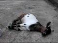 羊的颈静脉注射方法视频 (830播放)