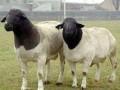 2015年1月杜泊绵羊种羊价格行情