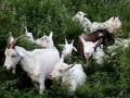 黄河三角洲地区预防山羊流产的防治方法