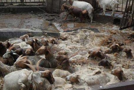 怎么预防羊寄生虫病的防治方法