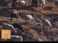 以稀为贵的乌骨羊20150203 (312播放)