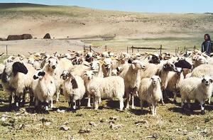 草地型西藏羊