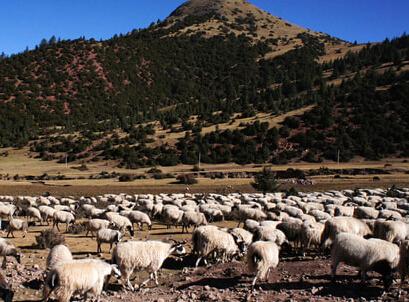 山谷型西藏羊