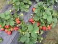 """安徽合肥长丰养殖场养羊喂""""草莓""""变身""""草莓羊"""""""