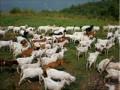 生态养殖刻不容缓:中国已成畜牧业最大污染国