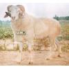 常年供应小尾寒羊
