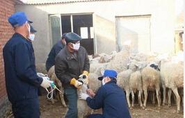 春季羊病预防