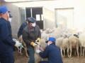 春季养羊容易发生的常见病