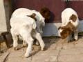 羔羊腿软的病因及治疗办法