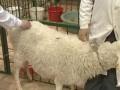 观察病羊发生羊病的八种方法