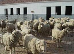 内蒙古赤峰活羊收购价格持续下跌