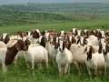农业部印发《全国肉羊遗传改良计划2015-2025》全文