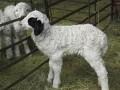 初生羔羊肠鼓气的症状及预防治疗方法