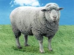 德国肉用美利奴羊