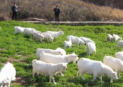 如何喂养马头山羊