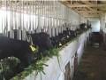 黑山羊圈养的饲养管理技术