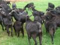 青饲料喂养黑山羊技术及注意事项