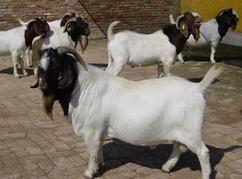 肉羊养殖常见问题