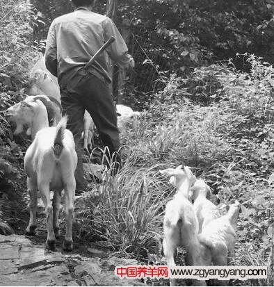 羊致命部位图解