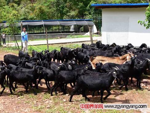 集約化黑山羊養殖