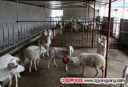 四川仁寿县禄加养殖大户宋通云的养羊经