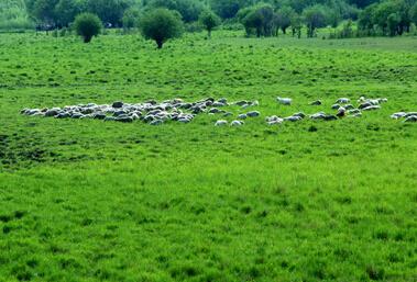 呼伦贝尔羊的养殖与管理技术