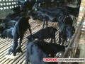 黑山羊饲料的饲喂量及如何育肥