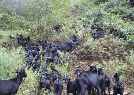 黑山羊受胎懷孕的管理技術
