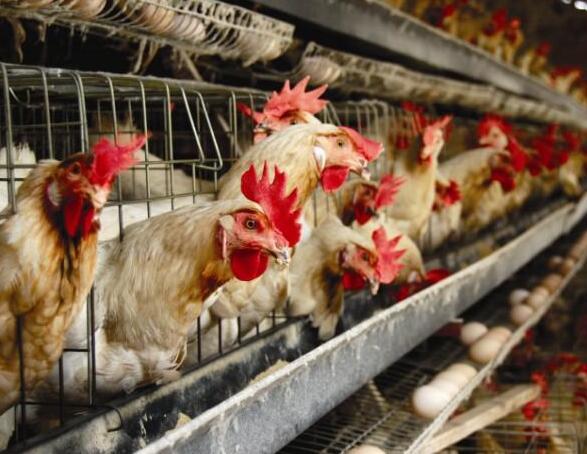 家禽营养性胚胎病的预防方法
