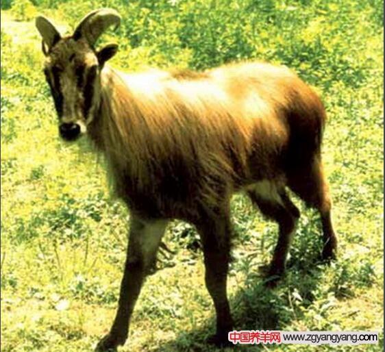 喜马拉雅塔尔羊
