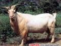 肉用山羊品种都安山羊品种性能介绍
