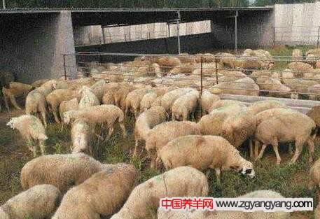 大型养羊场
