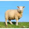 销售内蒙散养绿色羊肉