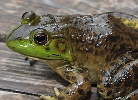 青蛙养殖详细技术流程,饲养管理技术