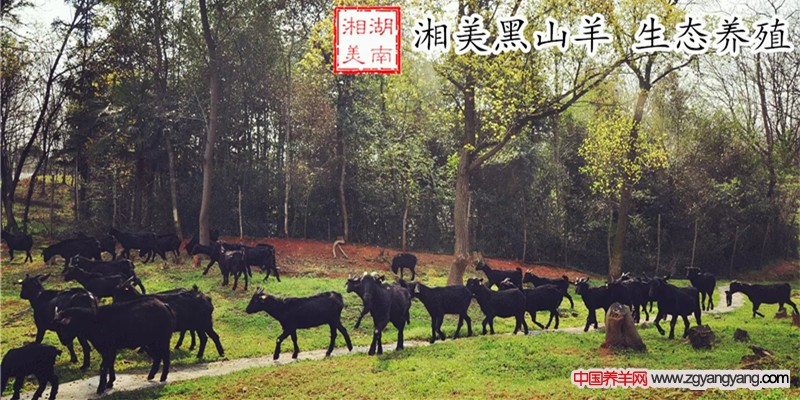 湘美黑山羊 生态养殖