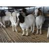 今年纯种小波尔山羊价格
