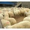 育肥绵羊现在价格