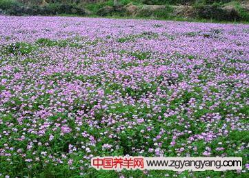 紫花苜蓿养羊
