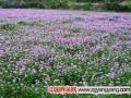 紫花苜蓿养羊及种植技术