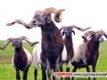甘肃地方品种甘南玛曲欧拉羊品种性能介绍