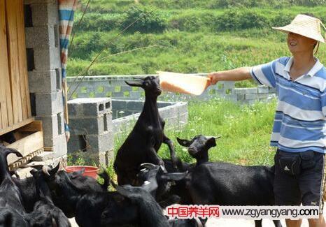 怎样喂黑山羊