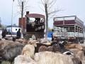 """新疆霍尔果斯发放""""扶贫羊"""" 助力村民脱贫致富"""