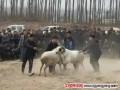 """范县高阳镇""""百羊""""大战 精彩开锣"""