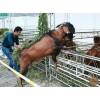 贵州努比亚山羊种羊