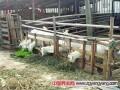散养羊异常紧俏,崇明农户散养白山羊今年价格上涨