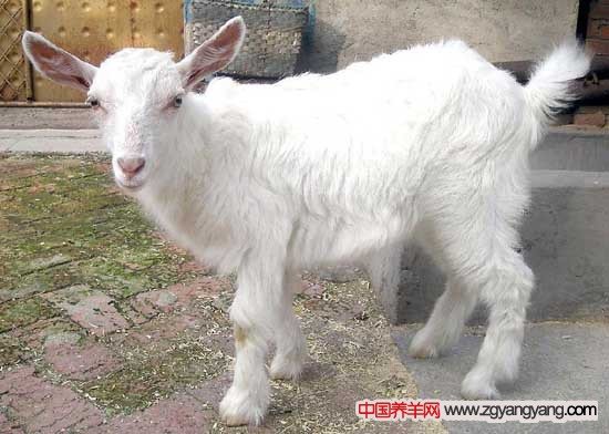 小尾寒羊羊痘病的症状与防治措施